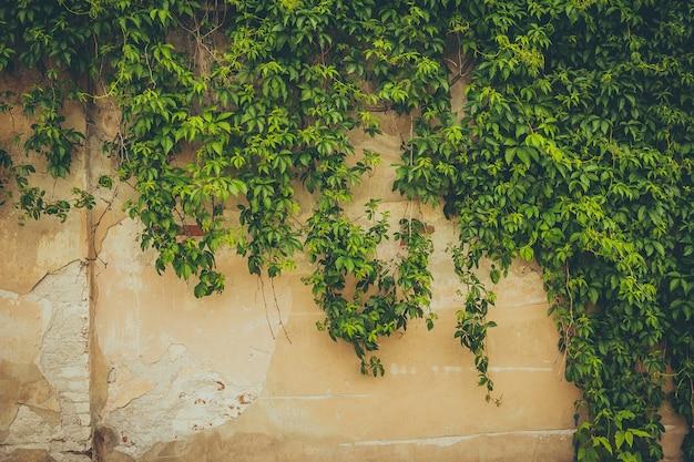 De muur bedekt met groene bladeren