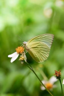De naam van de gele vlinder is the lemon emigrant (catopsilia pomona)