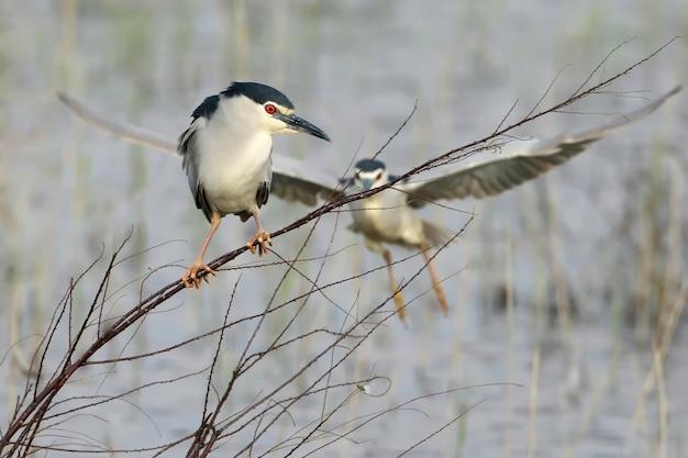 De nachtreiger zit op een dunne tak en daarachter vliegt een andere vogel omhoog. grappige plot van het leven van vogels