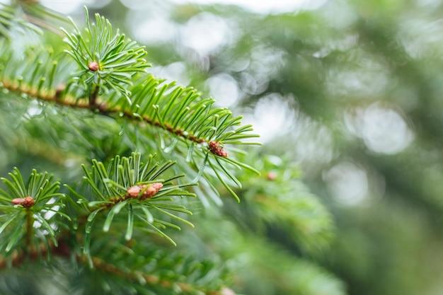 De nadruk van de close-up die van de bladeren van de pijnboomboom is ontsproten