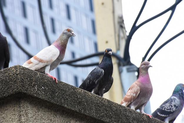 De nadruk van duiven klampt zich op cementvloer vast in stad met stadsachtergrond