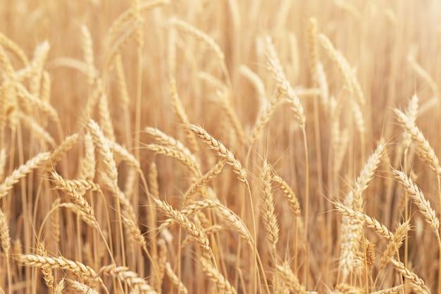 De natuurlijke achtergrond van een veld met rijpe tarwe