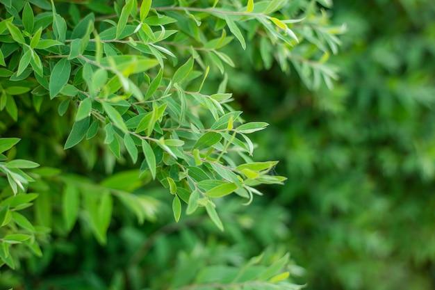 De natuurlijke achtergrond van verse groene bladeren, fotoconcept natuur en plant.