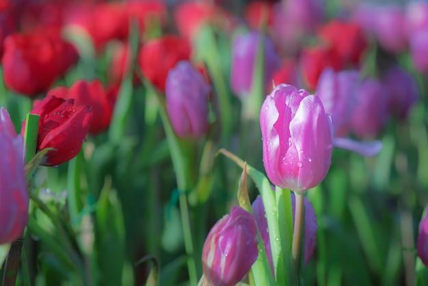 De natuurlijke mening van tulpenbloemen bloeit in tuin met rode tulpen als ochtendlente