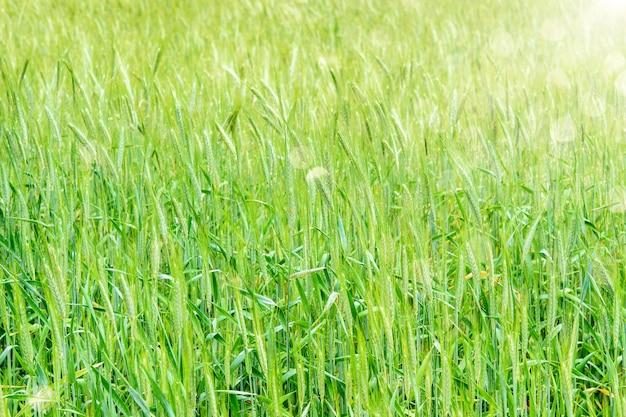 De nieuwe groene achtergrond van het tarwegebied in zonlicht in de lente. natuur in platteland concept.