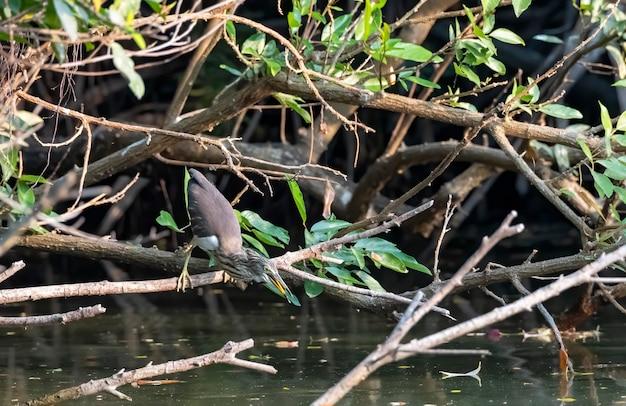 De nonbreeding volwassen javaanse vijverreiger die op de tak neerstrijkt die wacht om prooi, thailand in een hinderlaag te lokken