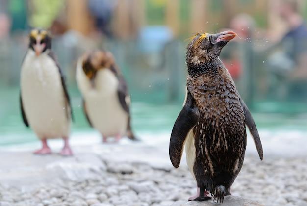 De noordelijke rockhopperpinguïn schudt water af na het zwemmen