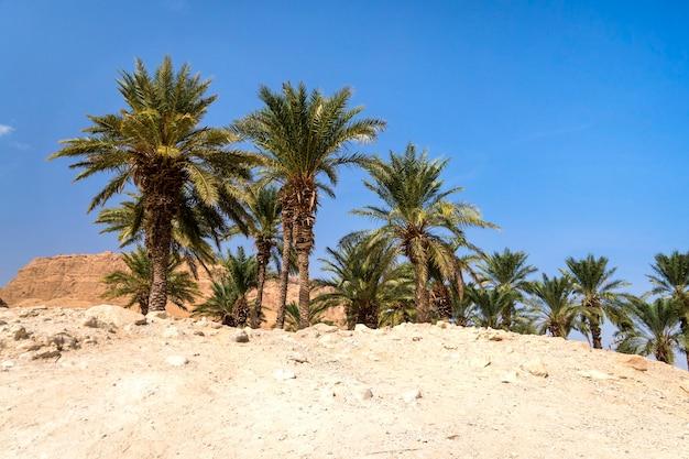 De oase in de woestijn. palmbomenbosje in woestijn. wildernis. verlaten grondgebied tegen blauwe wolkenloze hemel. verzengend zand en groene bomen. midden-oosten klimaat. landbouw. weldadige koelte