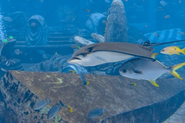 De ocellated adelaarsrog (aetobatus ocellatus) is een soort van kraakbeenvissen in de adelaarsrog familie myliobatidae. atlantis, sanya, eiland hainan, china.