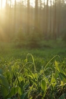 De ochtendstralen van de zon verlichten de open plek van lelietje-van-dalen met dauw in het bos.