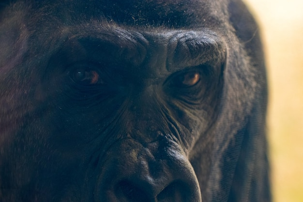 De ogen van de gorilla kijken je van dichtbij aan.