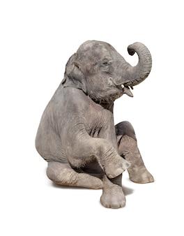 De olifant gaat zitten geïsoleerd op wit