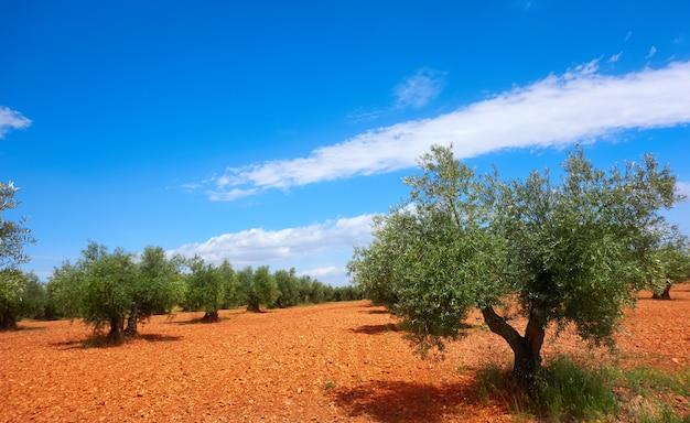 De olijfbomen van castilië la mancha in cuenca