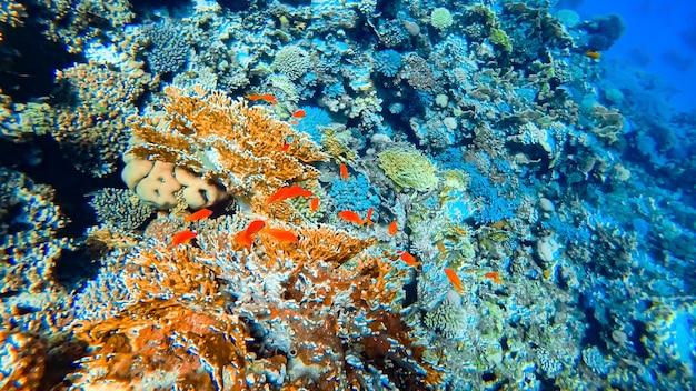 De onderwaterwereld van de blauwe zee tegen de achtergrond van prachtige koralen die rode vissen zwemmen.