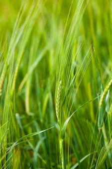 De onrijpe groene haver groeit in een landbouwgebied. kleine scherptediepte
