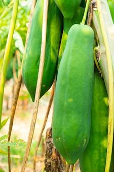 De onrijpe papaya vrucht heeft een groene kleur aan de boom.