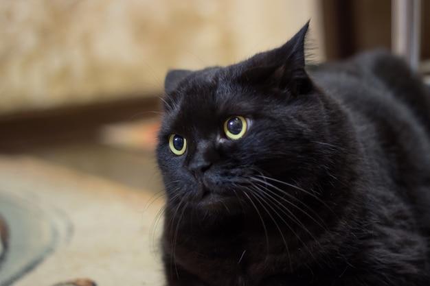 De ontevreden zwarte kat liegt en kijkt wantrouwend toe
