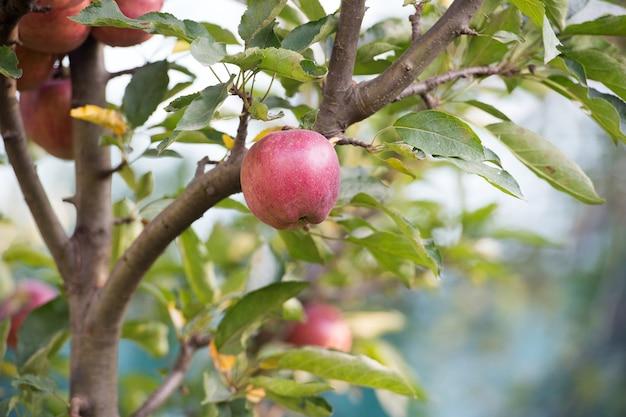 De oogst is rijp. appeltuin op natuurlijk landschap. appelboom groeit in fruittuin. boomgaard gewassen. tuinieren en cultiveren. landbouw en landbouw. zomer of herfst seizoen.