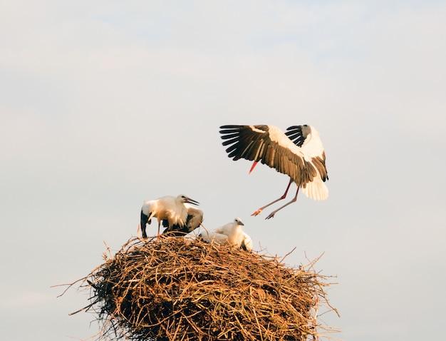 De ooievaar vliegt naar zijn nest met zittende kuikentjes