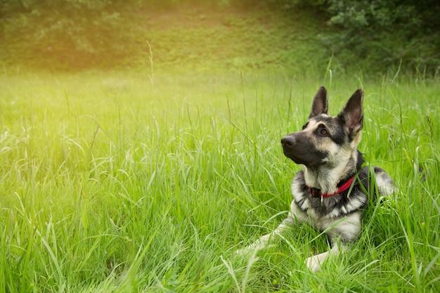 De oost-europese herdershond in rode kraag die op het gras in het park bij zonsondergang ligt. zorgvuldig kijken. het concept van huisdieren