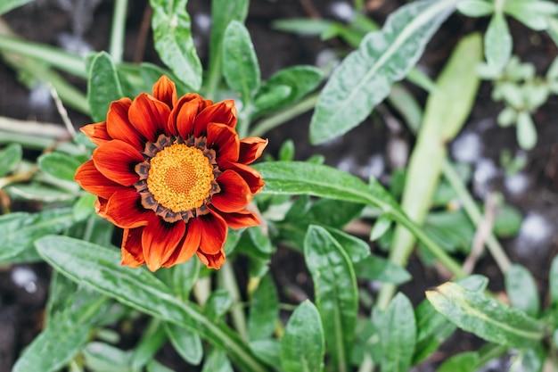 De oranje bloem van gazania rigens tegen vage achtergrond in de tuin
