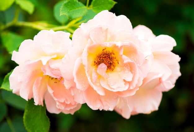 De oranje theeroos van de close-up groeit in de zomer in de tuin