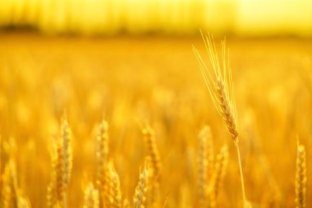 De oren van gouden tarwe sluiten omhoog.
