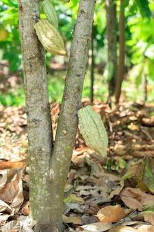 De organische peulen van het cacaofruit op boom