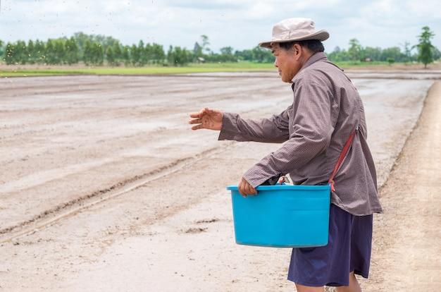 De oude aziatische landbouwersmens gooit zaailingenpadie bij een padieveld.