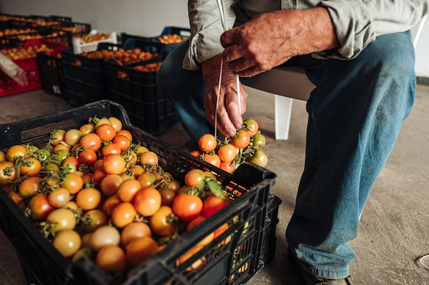 De oude traditie om cherrytomaten aan de muur te hangen om ze te bewaren
