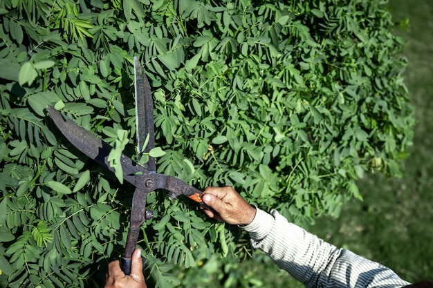 De oude tuinman snijdt de struik met een grote metalen oude snoeischaar