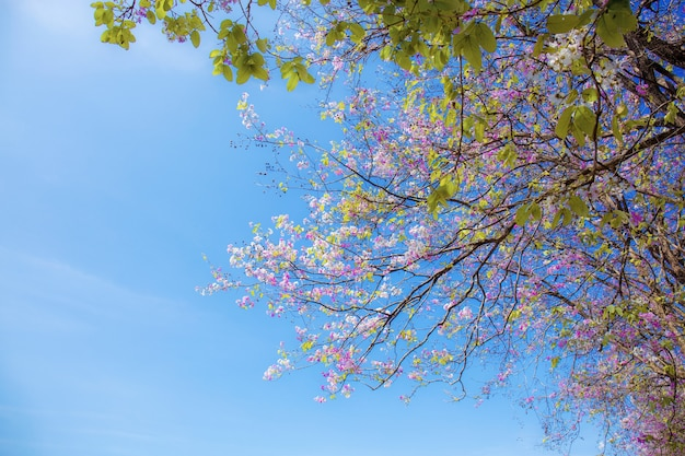 De paarse bloesems van de crape mirte op tak met zonlicht bij blauwe hemel.