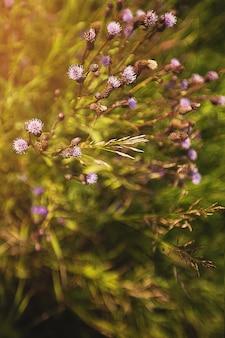 De paarse en roze klisbloemen groeien op een de zomergebied, een weiland of een weide, een groen gras, de zomer of de lente