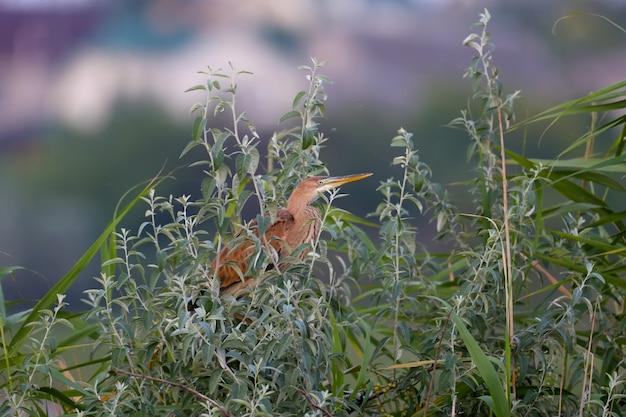 De paarse reiger (ardea purpurea) wordt in de vroege ochtend neergeschoten terwijl hij in de dichte takken van een boom zit in de stralen van zacht licht