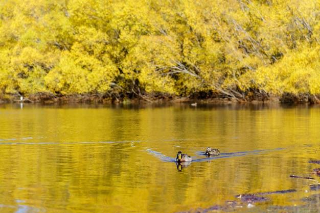 De pacifische zwarte eenden of grijze eenden bij lake pearson (moana rua) in de herfst, arthur's pass national park, zuidereiland van nieuw-zeeland