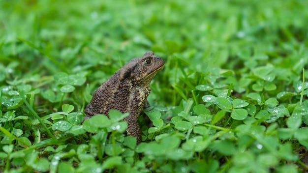 De pad zit op het groene gras, kijkt naar de kant. een kikker in klaver, een glibberige koude kikker in de natuur, wratten op de huid