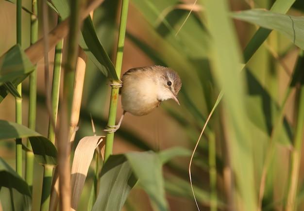 De paddyfield-grasmus (acrocephalus agricola) zit op een riet in zacht ochtendlicht tegen een onscherpe achtergrond. eenvoudige identificatie