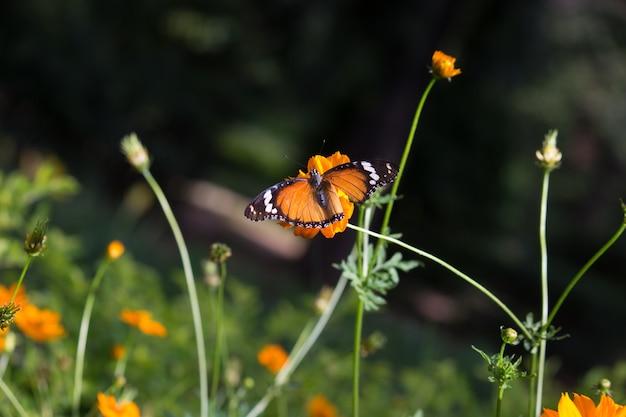 De palin tijger vlinder aan de bloem plant