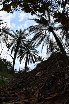 De palmboom de dadelpalm of de dadelpalm is een boom die behoort tot de familie armadillo