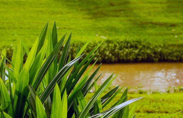 De pandanus (pandanus amaryllifolius), of schroefpijnboom, ook wel daun pandan wangi genoemd in indonesië,