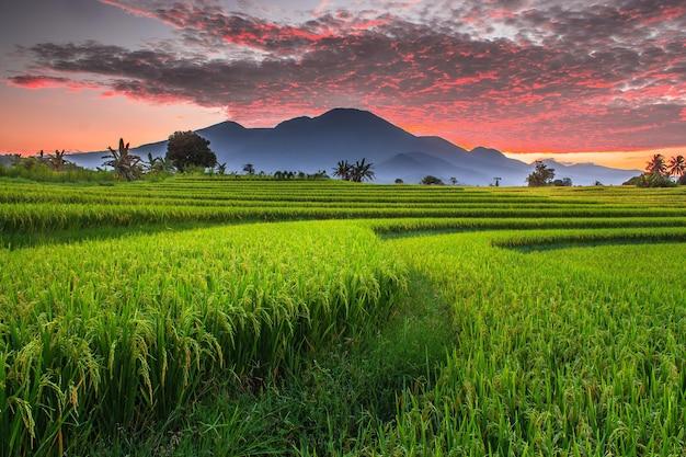 De panoramische schoonheid van rijstvelden in de ochtend met vergelende rijst en een brandende lucht aan de horizon