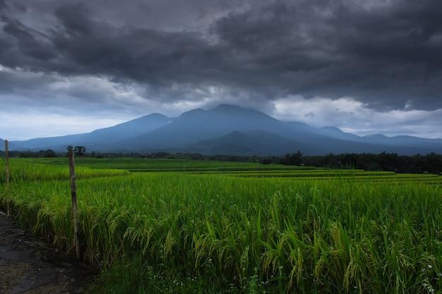 De panoramische schoonheid van rijstvelden in de ochtend met vergelende rijst en een donkere bewolkte hemel aan de horizon