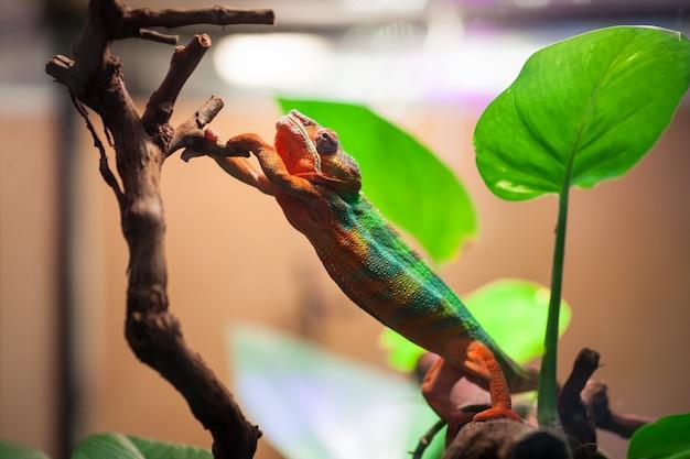 De panther chameleon reikt naar een boomtak.