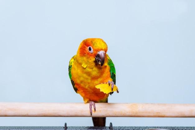 De parakeetpapegaai die van de zon met aard eet