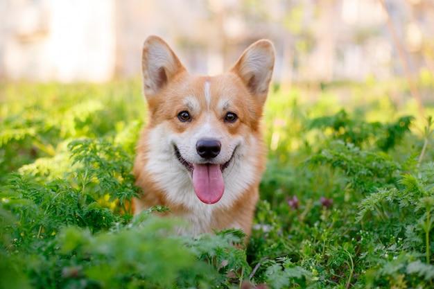 De pembroke welsh corgi-hond zit in het gras tijdens een wandeling in het park