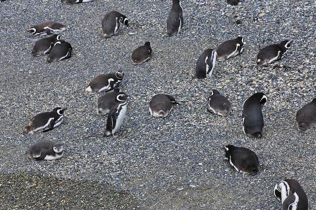 De pinguïnen op het eiland in brakkanaal sluiten ushuaia-stad, tierra del fuego, argentinië