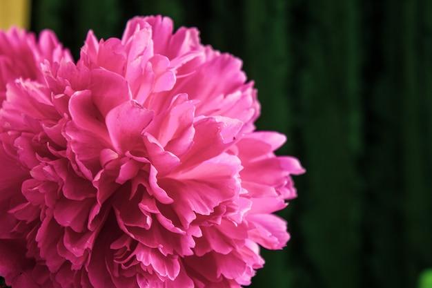 De pioen knop met dauw druppels. roze bloem met waterdruppels.