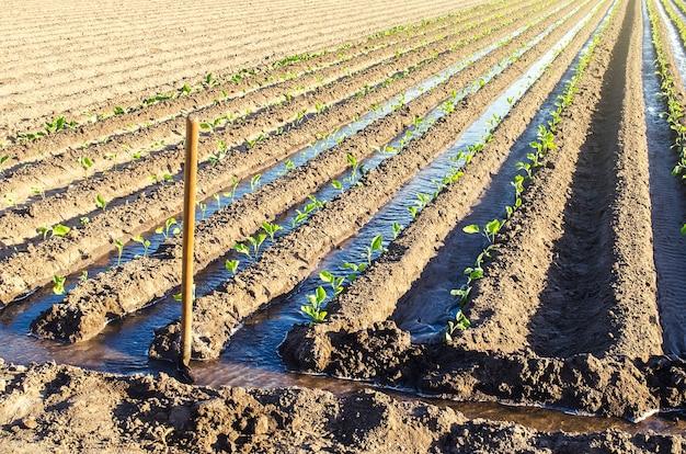 De plantage van jonge auberginezaailingen drenken via irrigatiekanalen