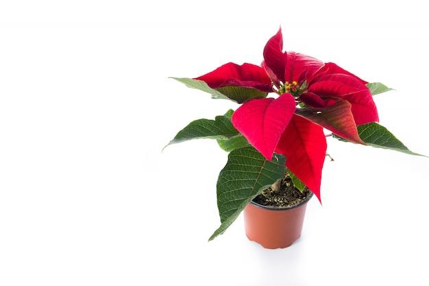 De poinsettiabloem van kerstmis die op witte achtergrond wordt geïsoleerd.