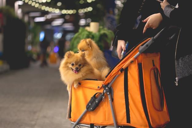 De pomeranianhond zit in de karretje in supermarkt